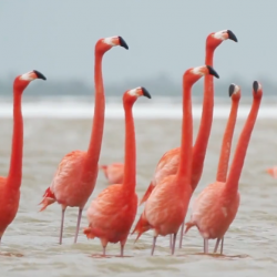 Flamingos walking around