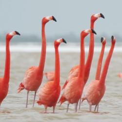 Flamingos walking around